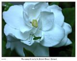 Bug enjoying the nicely scented Gardenia blossom