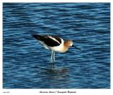 American Avocet at the Sunnyvale Baylands