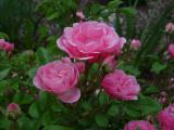 Mini Pink Shrub Rose (unknown variety)