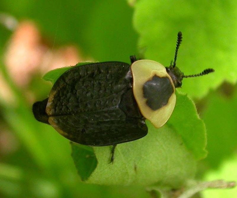 Necrophila americana - American carrion beetle