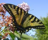 Tiger Swallowtail  -- view 1