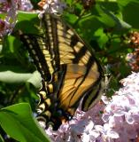 Tiger Swallowtail -- view 3