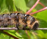 Eastern Tent Caterpillar -- view 2