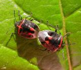stink bugs (mating)  --  Cosmopepla lintneriana (Kirkaldy)