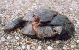 dead Blanding's Turtle