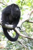 0919 black howler monkey 1 - baboon santuary.jpg