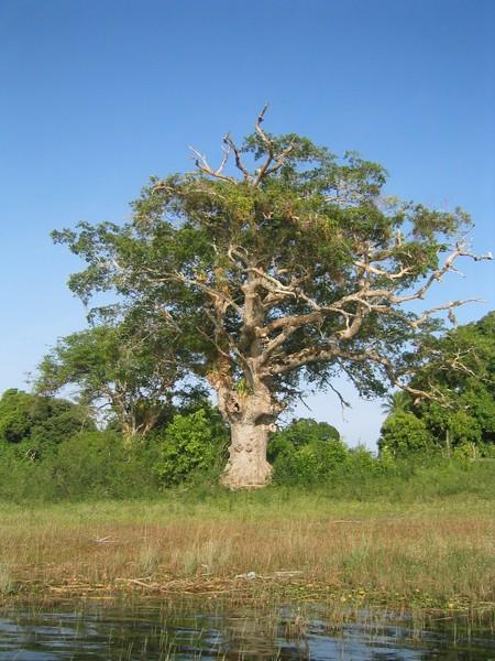 0964 b0071 guanacaste tree.jpg