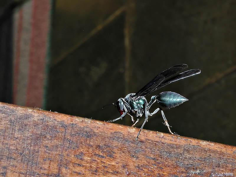 Metal blue wasp
