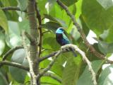 Blue-necked Tanager (Digiscoped)