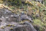 Puna Hawk, Andes Mtns