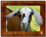 Framed Goat.jpg