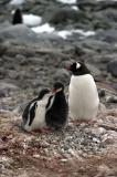 Gentoo Penguin and Chicks 8551