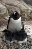 Gentoo Penguin and Chicks 8578