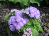 Ageratum or Floss