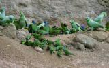 Mealy and Blue-headed Parrots and Dusky-headed Parakeets