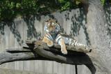 Tiger, a bit unsharp...
