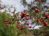 Berries 03