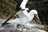 Masked Booby, adult