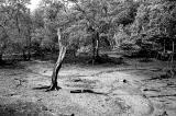 Moribund Tree I