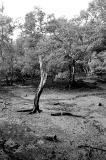 Moribund Tree II
