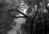 Mangrove Roots I