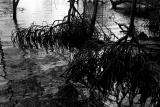Mangrove Roots at Dusk