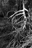 Mangrove Roots III