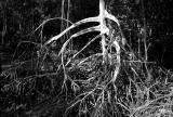 Mangrove Roots IV