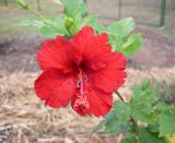 Hibiscus ~Reddy or Not~