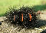 Giant Leopard Moth Caterpillar (8146)