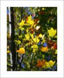Fall Colors, Calif. Style II