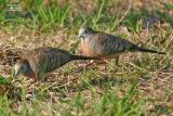 Zebra Dove   Scientific name: Geopelia striata Habitat: Common in open country, cultivated areas and gardens.