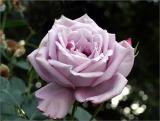Blue moon hybrid tea
