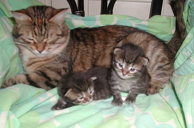 Mom Roosa with black mac tabby girls