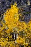 Aspen against Rock background by Donner Pass Rd.