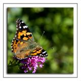 Butterfly ~ Gara Rock