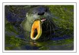 Otter with salmon