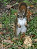 Squirrel standing in grass