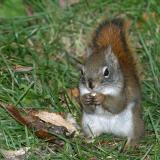 Squirrel standing and eating