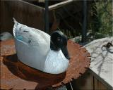 8x10 duck_3631.jpg