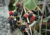 Yummmm....blackberries....