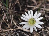 Ten Petal Anemone