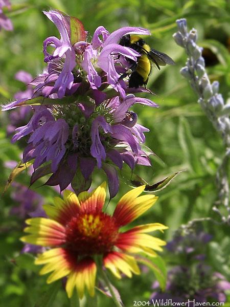 Favorite of Bees - Horsemint