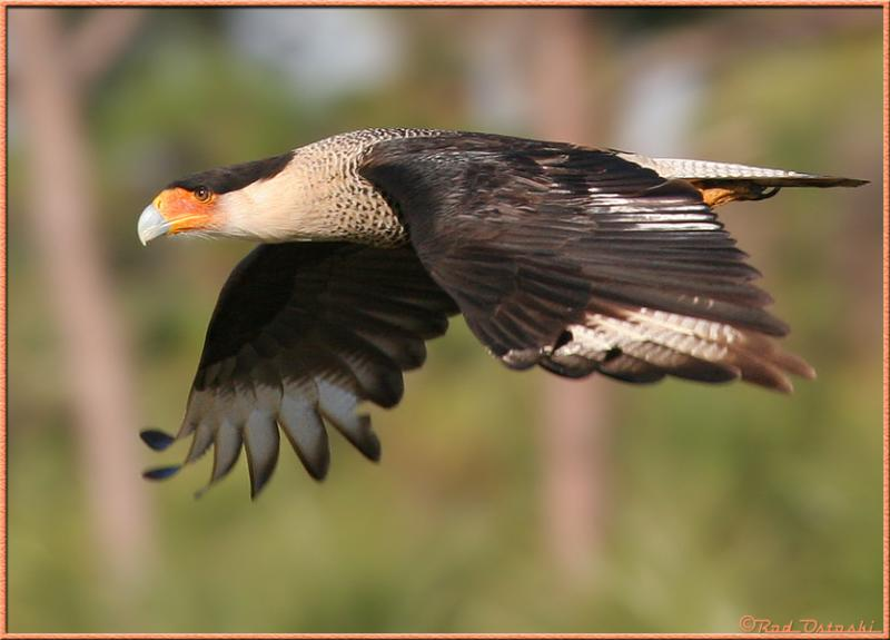 Caracara in-flight 8143