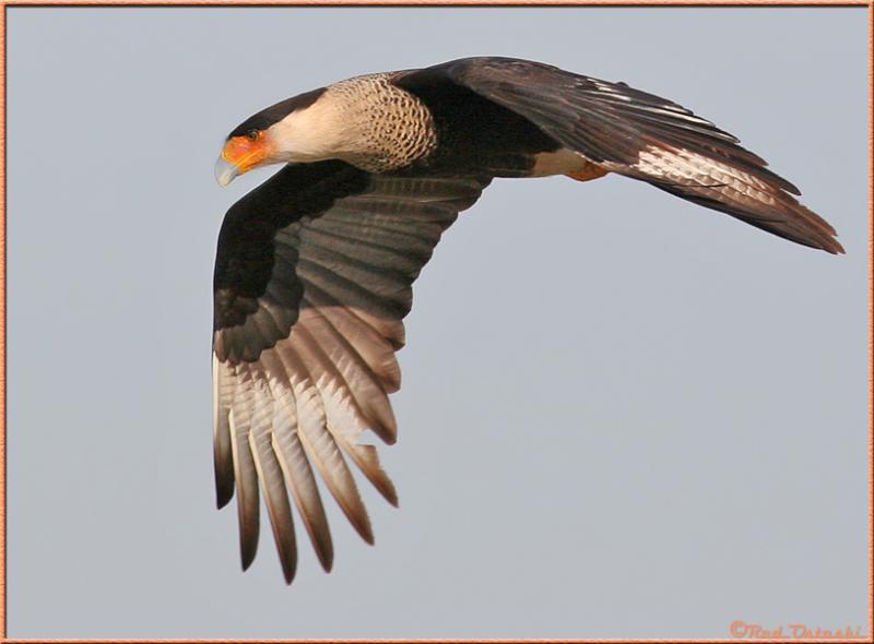 Caracara in-flight