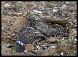 Lesser Nighthawk / Chotacabras Menor