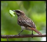 Streaked Flycatcher / Mosquero Rayado
