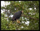 Common Black-Hawk / Gavilán Cangrejero Negro