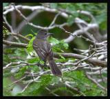 Panama Flycatcher / Atrapamoscas de Panamá