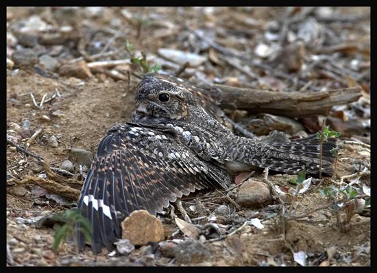 Lesser-Nighthawk2.jpg